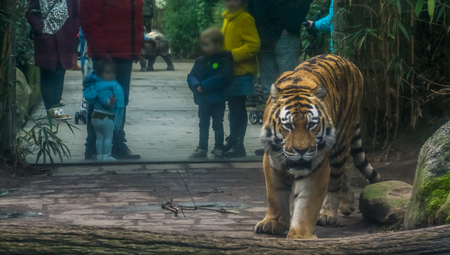 Children with their parents looking at a siberian tiger that is walking towards the camera Stock Photo