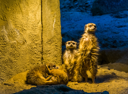 cute family portrait of meerkats together, two standing and two playing on the ground, popular zoo animals and pets Stock Photo