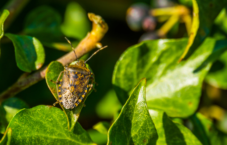 macro closeup of a mottled shield bug sitting on a green ivy leaf, common insect from europe