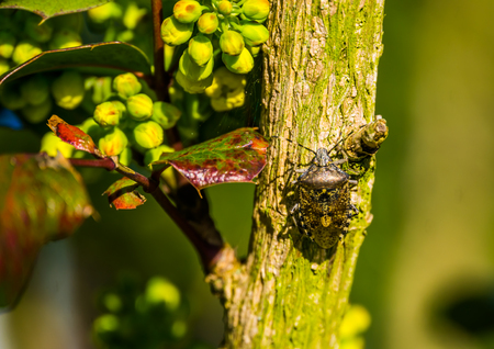 Mottled shield bug sitting on a tree branch, common insect from europe