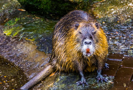 closeup of coypu sitting at the water side, tropical water rodent from America