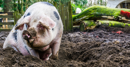 closeup of a female bentheimer pig sitting in the mud, Dutch pig breed