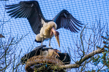 marabou stork couple protecting their nest, aggressive bird behavior during breeding season in spring, tropical birds from Africa