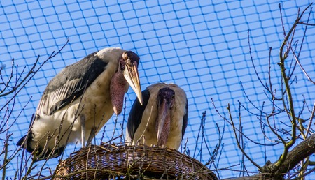 marabou stork couple standing in their nest together, tropical birds during breeding season, tropical animal specie from Africa Standard-Bild - 121661409