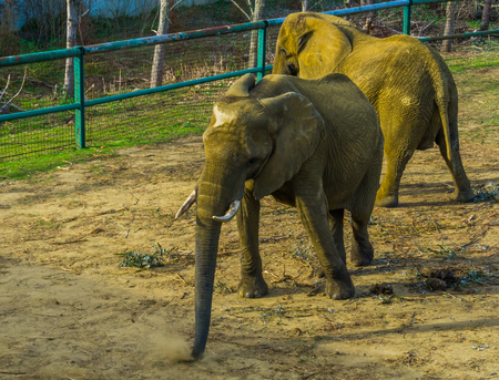 Tusked african bush elephant wiggling its body, zoo animal behavior, Vulnerable animal specie from Africa 스톡 콘텐츠