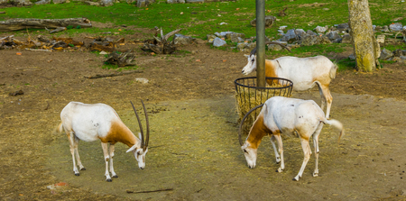 group of scimitar oryxes standing at the hay basket, animal specie that is extinct in the wild