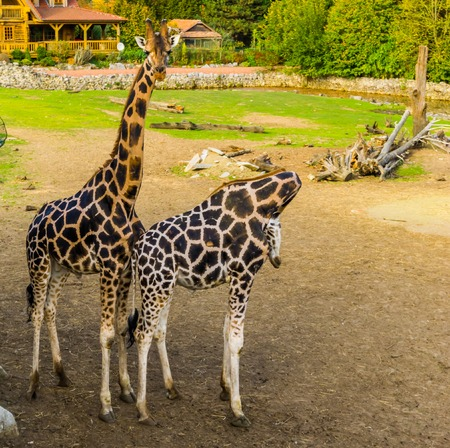 Male and female giraffe couple standing close together, popular zoo animals, Endangered species from Africa