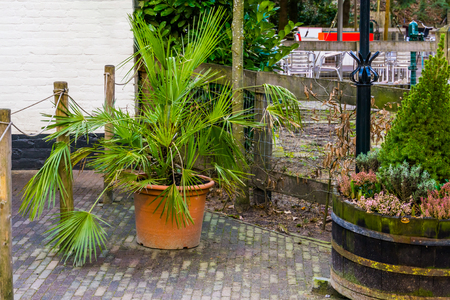 palm plant in a flowerpot, popular garden plants and decorations