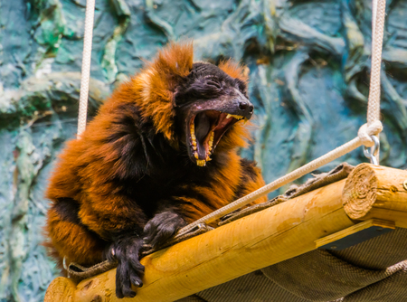 Red ruffed lemur monkey yawning with wide opened mouth, showing its denture with teeth, funny primate, Critically endangered animal specie from Madagascar Foto de archivo