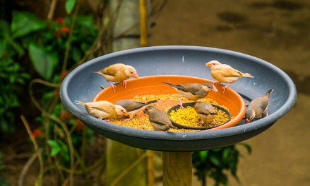 small tropical birds sitting in a feeding tray eating seeds, bird feeding solutions, keeping and taking care of exotic birds