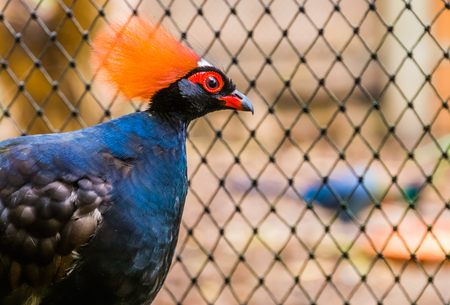 male red crowned wood partridge with his face in closeup, funny tropical bird from Asia, Near threatened animal specie
