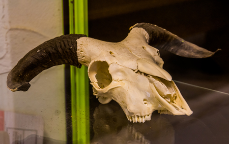 white animal skull with big black horns, Animal research and decorative objects