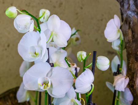 Bright white moth orchid flowers in closeup, popular flowers in horticulture from Asia