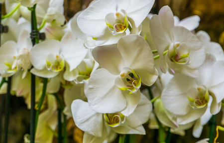beautiful cluster of white moth orchid flowers, Flowering plant from Asia, Nature background