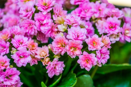 small pink flowers of a kalanchoe plant in macro closeup, popular decorative flower from Africa, nature background 免版税图像