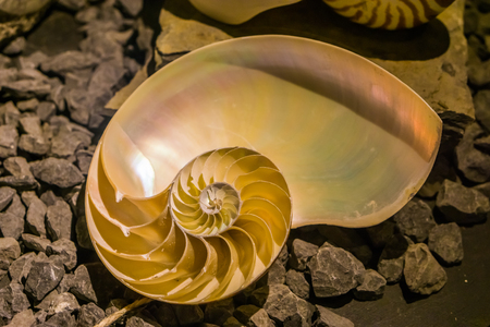 cut away of a chambered nautilus shell, mother of pearl shell, popular cephalopod Stock Photo