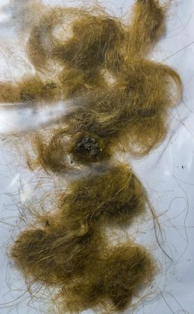 wollige Mammuthaarlocken, Überreste eines ausgestorbenen Tieres aus der Epoche Standard-Bild