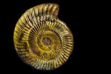 the shell of a perisphinctes ammonite, the fossil of a extinct water animal specie from the jurassic era isolated on a black background