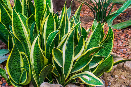 snake plant leaves in closeup in a tropical garden, very popular plant in horticulture, decorative garden and houseplants
