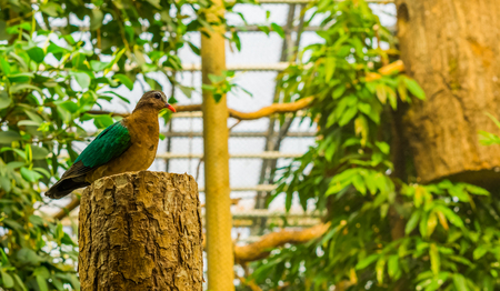 Portrait of a female emerald dove sitting on a tree trunk, tropical pigeon from india, bird with colorful plumage Stock Photo