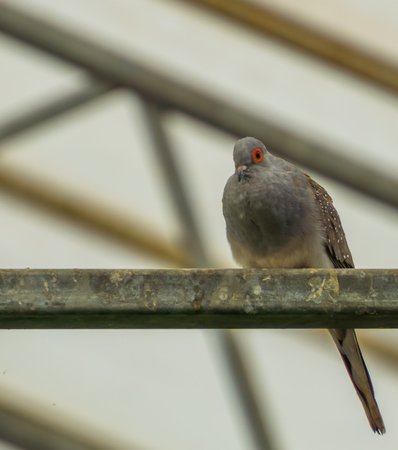 portrait of a diamond dove sitting on a metal beam in the aviary, small tropical pigeon from Australia