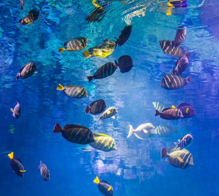 beautiful underwater shot with a big school of surgeon fishes, marine life background Stock fotó