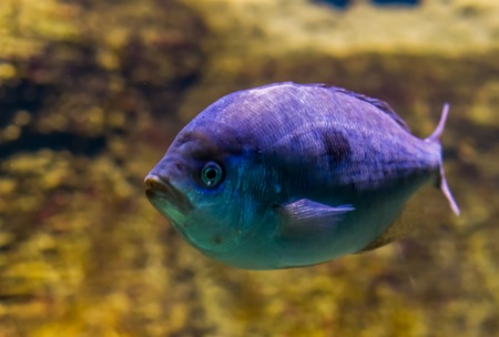 White sargo sea bream in closeup, vivid purple color effect on the scales, tropical fish from the atlantic and Indian ocean