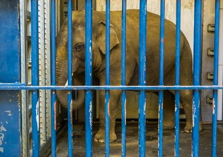 Caged male Asian elephant with tusks, Elephant behind bars, animal in captivity