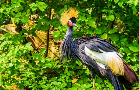 beautiful grey crowned crane in closeup, tropical bird specie from Africa, Endangered animal species