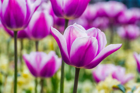 macro closeup of a white and purple tulip flower with a field of tulips in the background, traditional dutch flowers, nature background