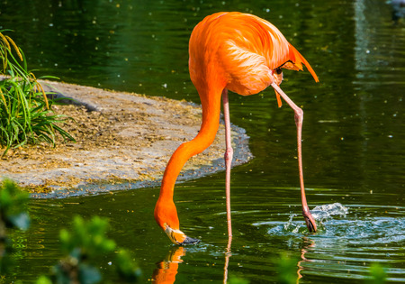 closeup of a caribbean flamingo drinking water, colorful tropical bird specie from America