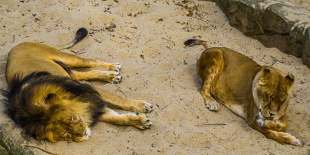 Male and female lion together, Male lion sleeping, lioness licking her paw, vulnerable animal specie from Africa