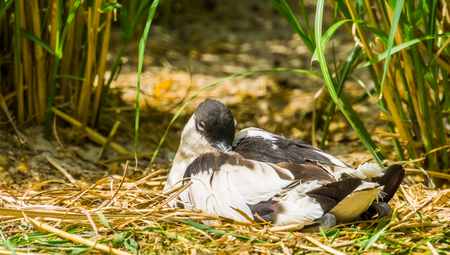 closeup of a pied avocet sitting between some grass, wading bird from Eurasia 版權商用圖片