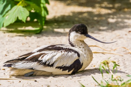 closeup portrait of a pied avocet sitting on the ground, black and white wading bird with a curved bill, migratory bird from Eurasia Stok Fotoğraf