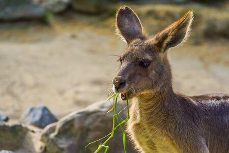 closeup of a eastern grey kangaroo eating grass, Marsupial from Australia Imagens