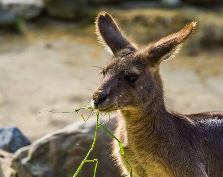 Eastern grey kangaroo eating grass, Face in closeup, Marsupial from Australia