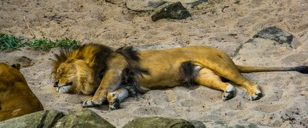 adult male lion sleeping in the sand, tropical wild cat from Africa