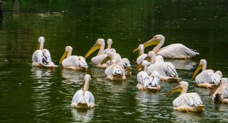 flock of great white pelicans together in the water, common aquatic bird specie from Eurasia