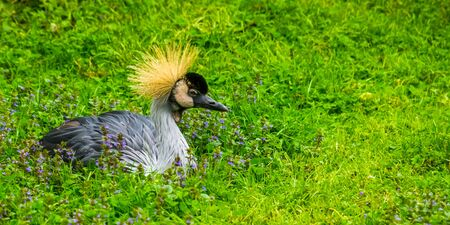closeup portrait of a grey crowned crane bird sitting in the grass, tropical bird specie from Africa