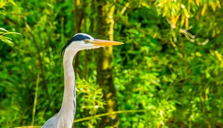 closeup of a grey heron in the forest, common bird of prey from Europe