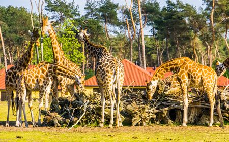 Family of nubian giraffes eating together from a stack of branches, critically endangered animal specie from Africa