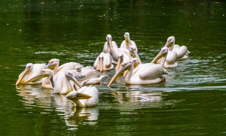 big group of great white pelicans floating in the water together, common water bird specie from Eurasia