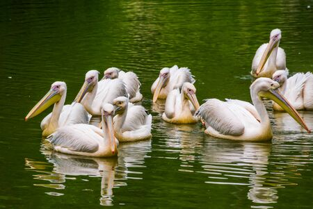 big family of rosy pelicans swimming together in the water, common aquatic bird specie from Eurasia