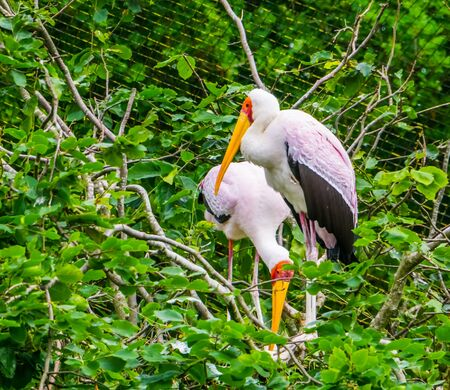 closeup of a yellow billed stork standing in its nest in a tree, tropical Bird from Africa