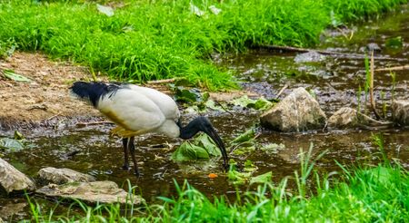 closeup of a African sacred ibis standing in a small river stream, tropical bird specie from Africa