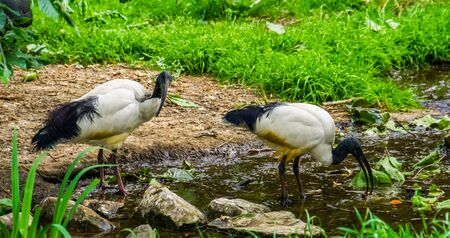 two african sacred ibises together in a river stream, tropical wading birds from Africa