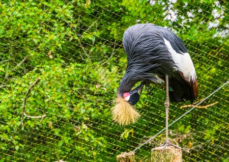closeup of a grey crowned crane preening its feathers, tropical and endangered bird specie from Africa
