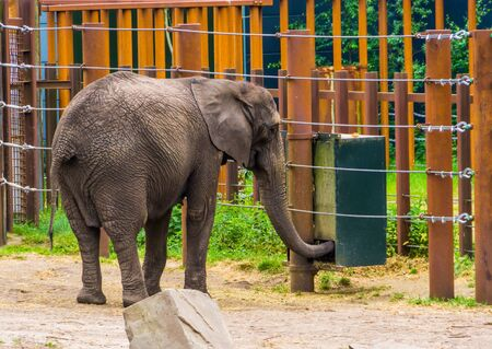 African elephant putting its trunk inside a feeding box, animal feeding system, Vulnerable animal specie from Africa Stock Photo