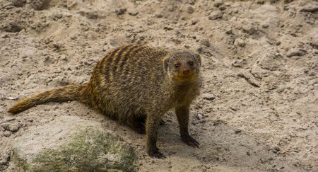 Closeup portrait of a banded mongoose, Adorable tropical animal specie from africa, popular pets 스톡 콘텐츠