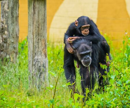 Portrait of a young western chimpanzee riding on the back of an adult chimp, critically endangered animal specie from africa